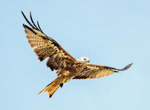 Red kites in Berkshire: How will coronavirus impact wildlife