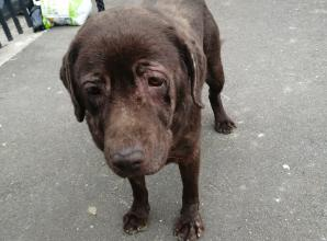 Abandoned Labrador found forever home following Slough council appeal
