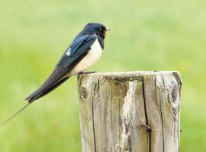 Be on the lookout for nesting swallows, asks wildlife group